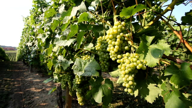 wine grape bunches overlooking - cabernet sauvignon grape stock videos and b-roll footage