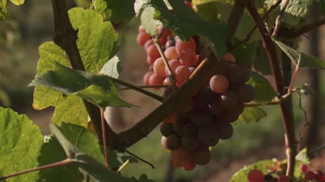 Wine Grape.