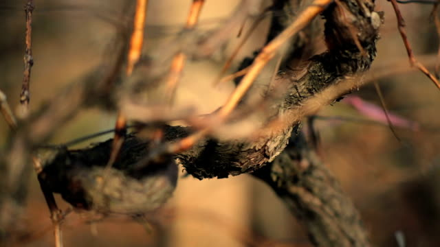 wine grapes at winter - dry stock videos & royalty-free footage