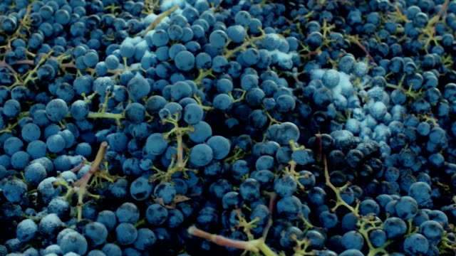 wine grapes from napa, california - red grape stock videos & royalty-free footage
