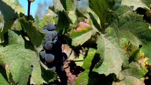 Wine grapes from Napa, California