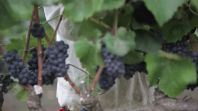 wine grapes on the vine with a worker pruning leaves - vine stock videos & royalty-free footage