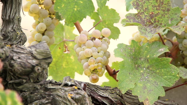 wine grapes - grape leaf stock videos & royalty-free footage