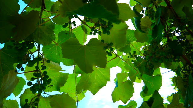wine grapes - grape leaf stock videos and b-roll footage