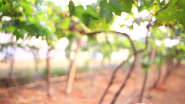 vidéos et rushes de vin cultivateur vérifier la qualité du sol dans les vignobles - champagne