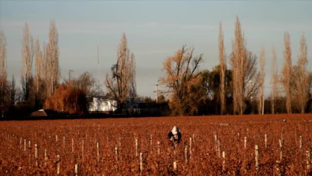 Wine plantation