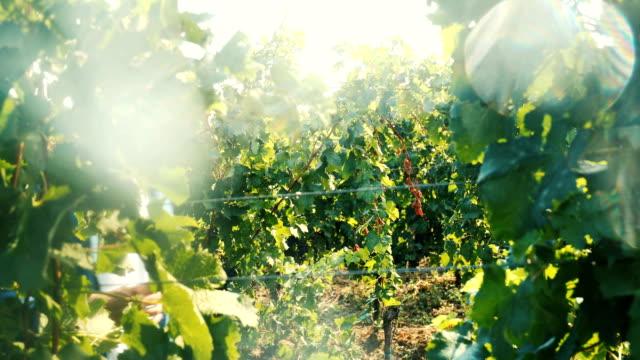 vidéos et rushes de dégustation de vin à la campagne - goûter