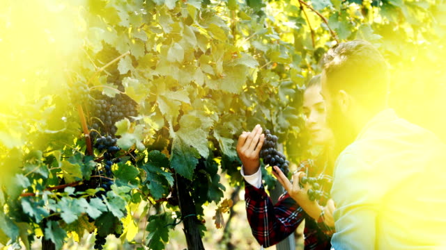 wine tasting in the vineyard - grape leaf stock videos and b-roll footage