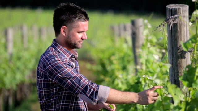 Winegrower checking grape and leafes