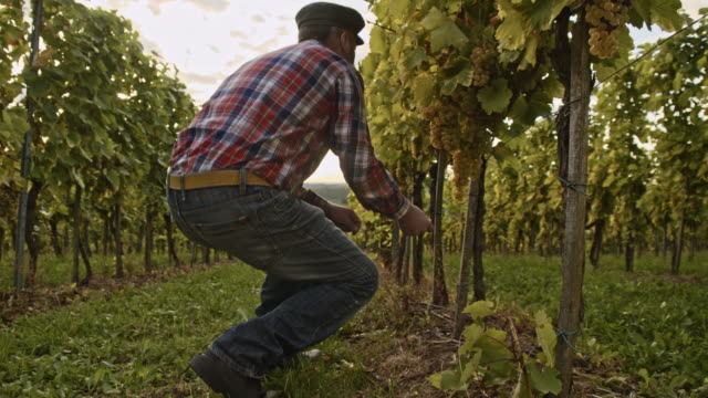 winegrower checking ripeness of the grape - prekmurje stock videos & royalty-free footage