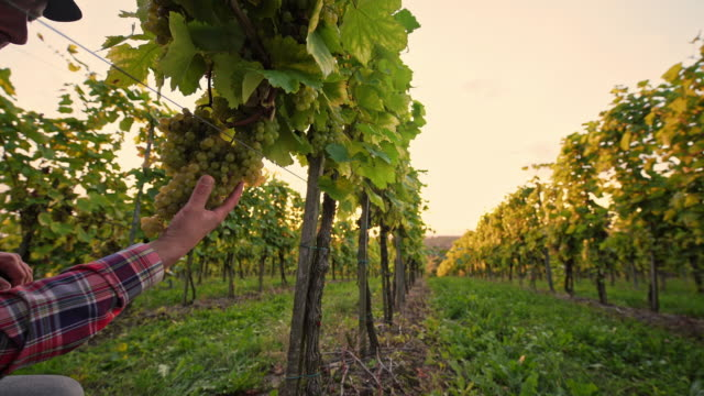 DS Winegrower checking the grape in vineyard