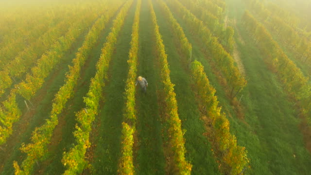 AERIAL Winegrower Checking The Grape