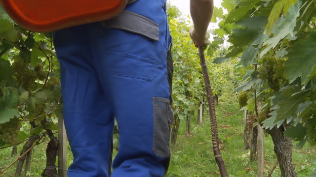 HD DOLLY: Winegrower Harvesting Grapes