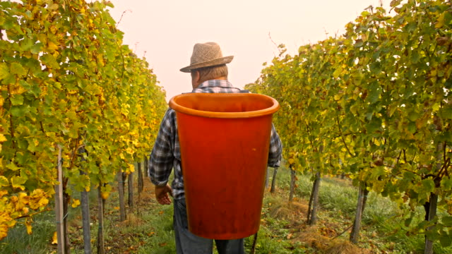 TS Winegrower Harvesting Grapes