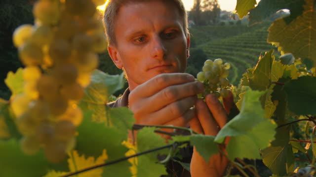 HD: Winegrower Tasting Grape In Vineyard At Sunset