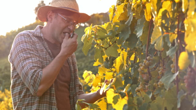 winegrower tasting the grapes in sunny vineyard - picking harvesting stock videos and b-roll footage