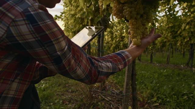 winegrower utilizzando la tavoletta digitale nel vigneto - viticoltura video stock e b–roll