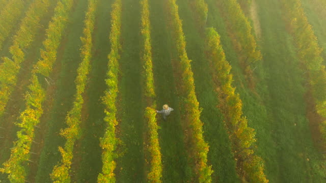 aerial winegrower zu fuß in die vineyard - traube stock-videos und b-roll-filmmaterial