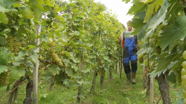 HD DOLLY: Winegrower Working In Vineyard