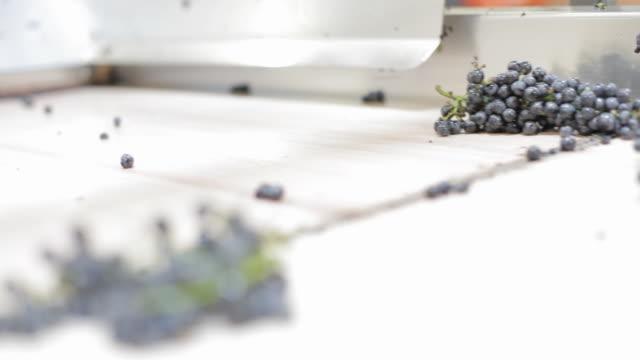 vidéos et rushes de vinification - tri des raisins - raisin noir