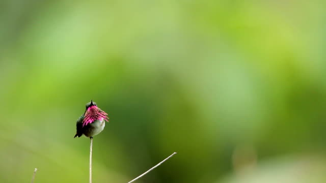 wine-throated hummingbird - hummingbird stock videos & royalty-free footage