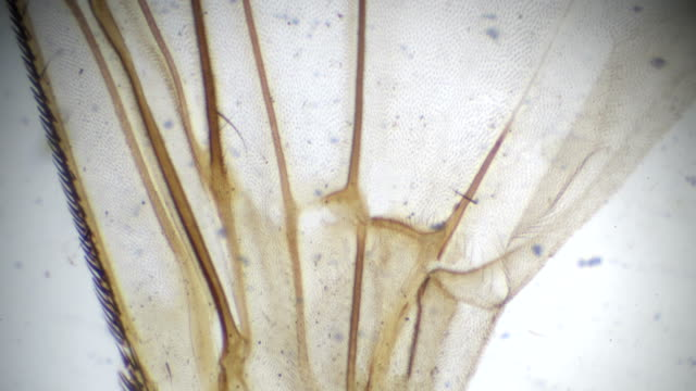 wing of house fly under microscopy - microscope slide stock videos and b-roll footage