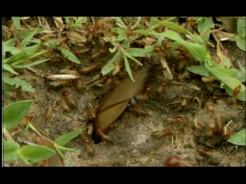 winged and nonwinged termites emerging from hole in ground, close up, nagarahole, india - animal wing stock videos & royalty-free footage