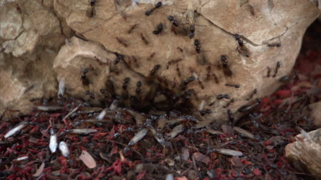 winged ants emerge from underground nest, madagascar - animal wing stock videos & royalty-free footage