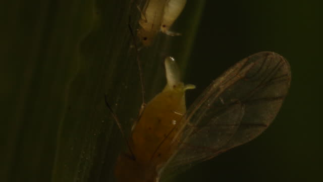 t/l winged aphid (superfamily aphidoidea) stung by parasitoid wasp and juveniles on wheat (triticum sp.), ecu, uk - erbivoro video stock e b–roll
