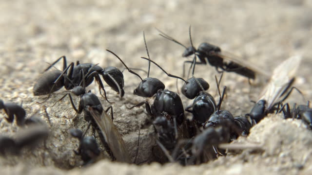 winged female ant getting ready for nuptial flight with army ants - princess stock videos & royalty-free footage