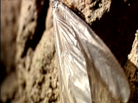 winged termite clambers on mound and takes off east africa - animal wing stock videos & royalty-free footage