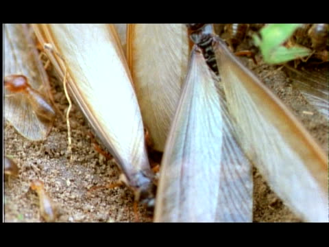 winged termites emerge from hole, close up, nagarahole, southern india - animal wing stock videos & royalty-free footage