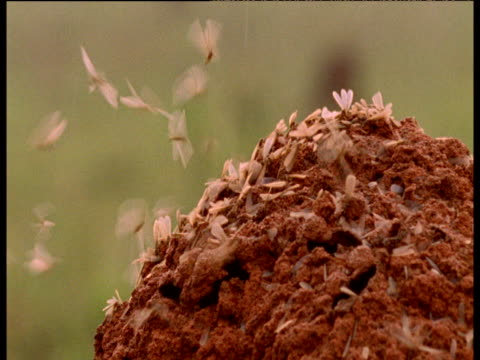 Winged termites leave mound to breed