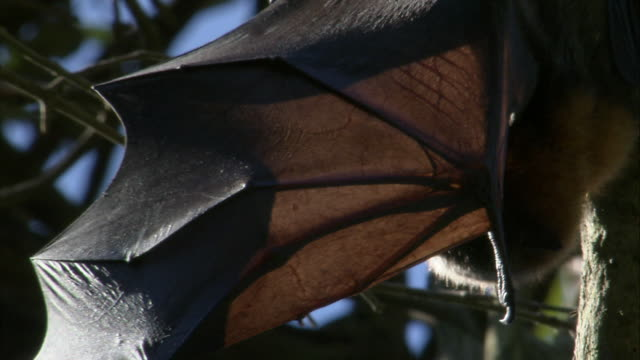 CU Wingspan of flying fox hanging from branch / Sydney , Australia