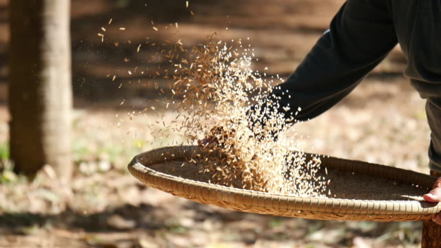 Winnowing rice in thailand