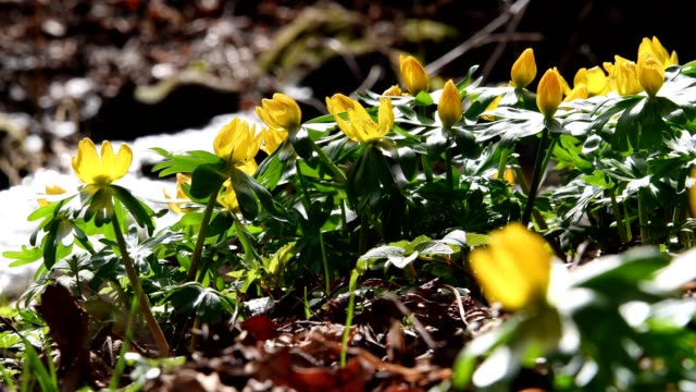 Winter Aconite, Eranthis hyemalis, at the creek, Bavaria, Germany