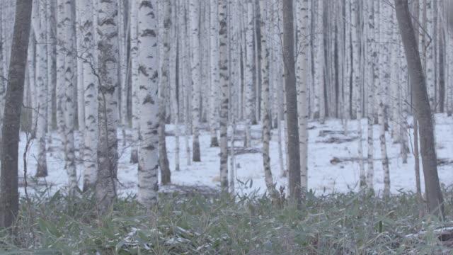 winter birch tree grove / jeongseon-gun, gangwon-do, south korea - カバノキ点の映像素材/bロール