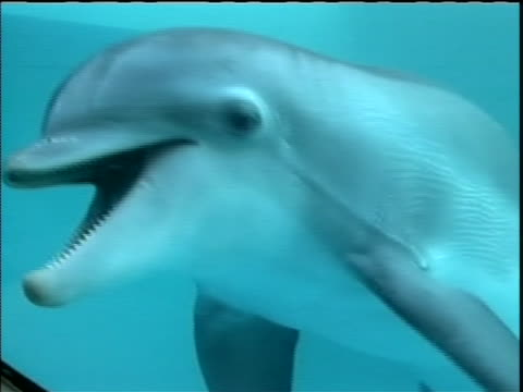 of winter facing camera in december 2005, winter the bottlenose dolphin was found off the coast of florida near cape canaveral. she was tangled in a... - bottle nosed dolphin stock videos & royalty-free footage