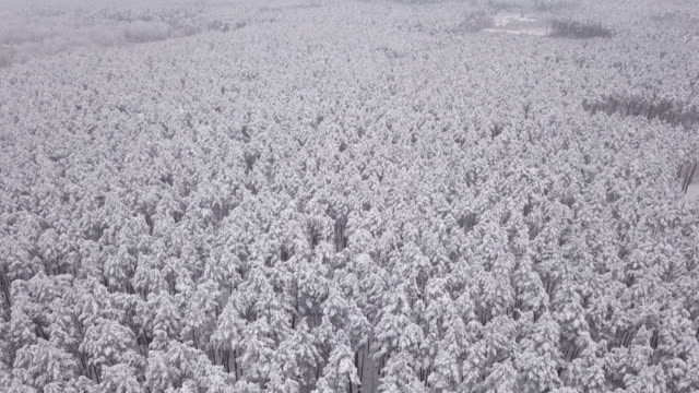 winter forest, pine trees covered with snow. captured from above with a drone - finlandia video stock e b–roll
