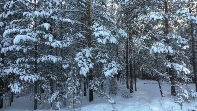 vidéos et rushes de forêt hivernale - pinacée