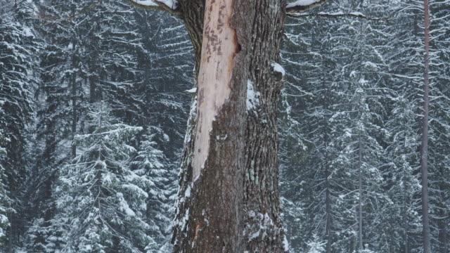 vídeos de stock e filmes b-roll de winter forest - pinheiro