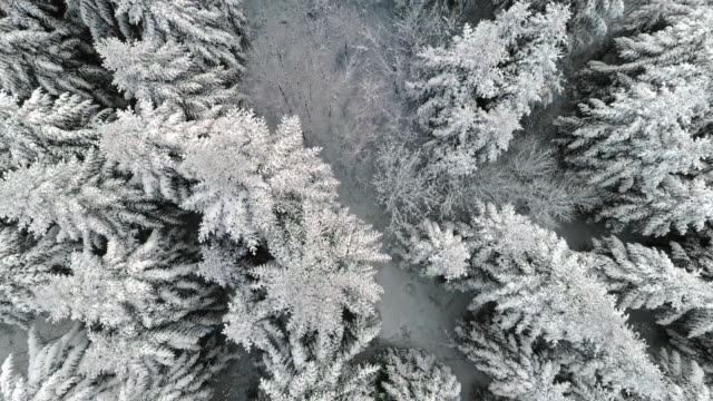 winter forest/debica/poland - pine stock videos & royalty-free footage