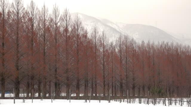 winter metasequoia with mountain - alberato video stock e b–roll