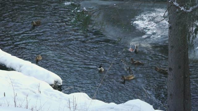 vídeos de stock, filmes e b-roll de cena de inverno rio com patos - grupo médio de animais