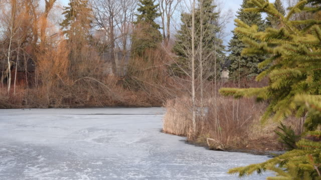 Winter scene: urban pond frozen with green pine trees. Beauty in nature. Toronto, Canada