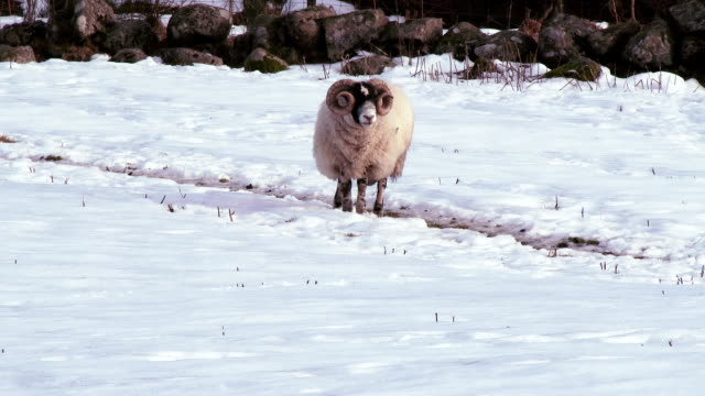 Winter scene with a ram trying to find grass
