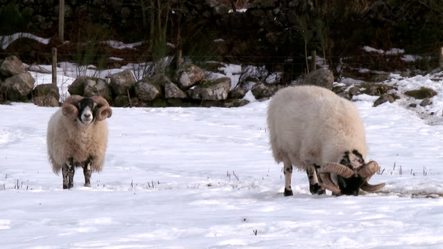 Winter scene with a rams trying to find grass