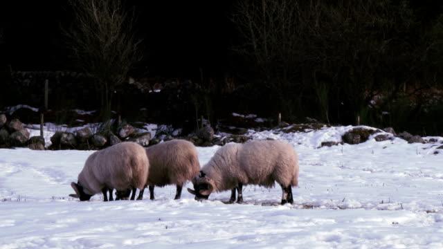 Cena de inverno com rams tentar encontrar Relva