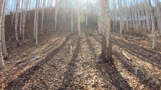 winter scenery of wondae-ri birch forest in wondae county / inje-gun, gangwon-do, south korea - カバノキ点の映像素材/bロール