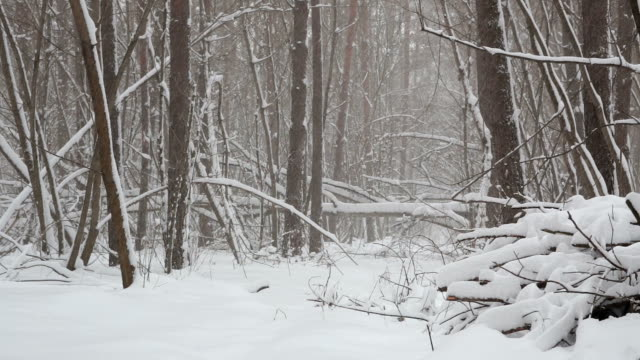 winter scenery with snowstorm in the forest. - copse stock videos & royalty-free footage